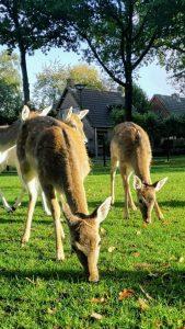 2 jonge hindes afgeleverd in het hertenkamp 8