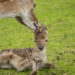 Pril geluk in het hertenkamp! – Update