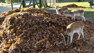 Blad ruimen in het hertenkamp 6