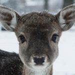 Hertenkamp in de sneeuw